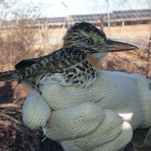 Since 2018, Total Eren in Brazil initiated an extensive wildlife monitoring program (including birds, mammals, reptiles, arachnids) around BJL PV plants (Bom Jesus da Lapa, State of Bahia, Brazil).
